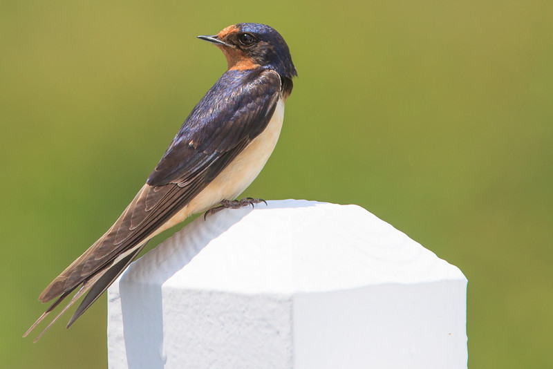 Cliff Swallow at Bramble Farm, Blue Grass, Highland County, VA near nest under eave of farmhouse. Looking backward.