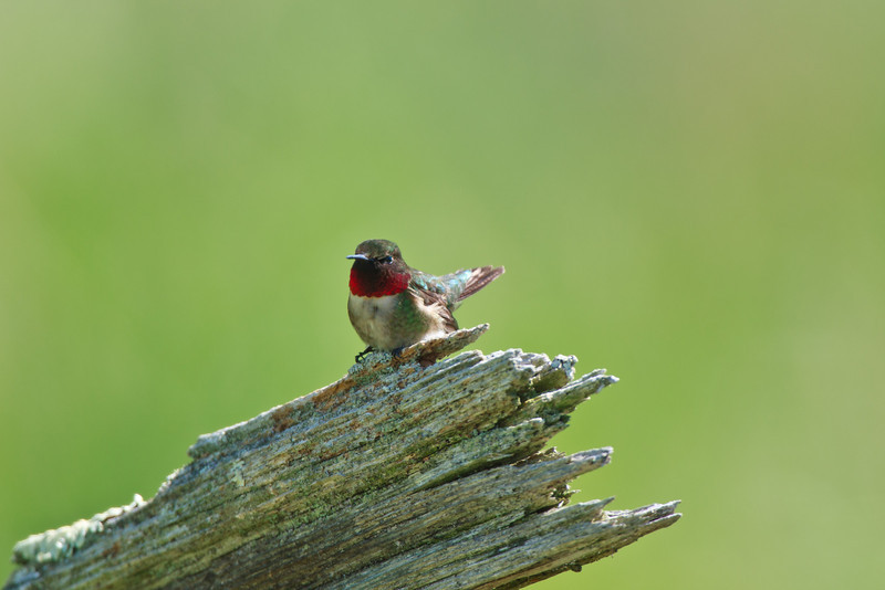 Ruby-throated Hummingbird, Highland County, VA