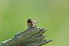 Ruby-throated Hummingbird, Highland County, VA