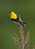 American Goldfinch, Highland County, VA