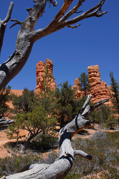 Red Canyon Junipers