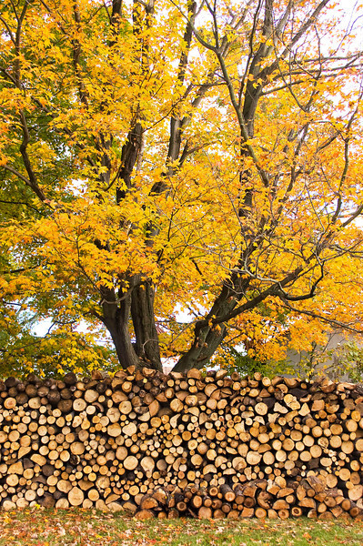 autumn tree with woodpile