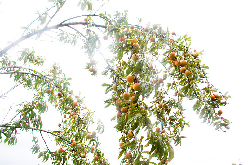 peach tree in mist (created by photo brightening)