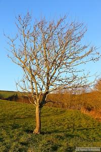 A tree near St Catherine's Chapel, Abbotsbury  05/12/14