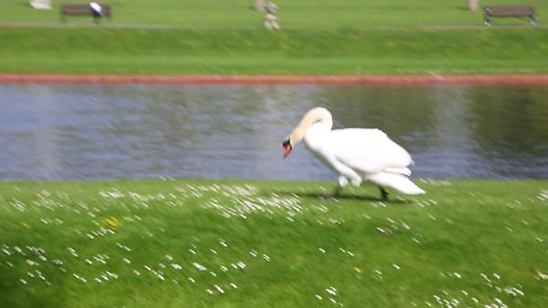 Video - Swan