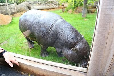 Pygmy Hippo in London Zoo  19/05/15