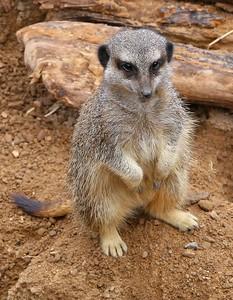 Meerkat in London Zoo  19/05/15