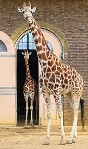 Giraffe in London Zoo  19/05/15
