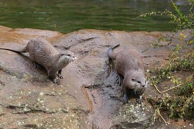 Otter in London Zoo  19/05/15