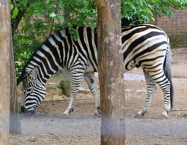 Zebra in London Zoo  19/05/15