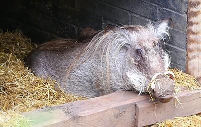 Warthog in London Zoo  19/05/15