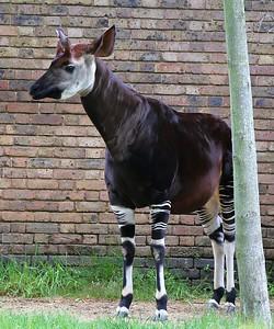 Okapi in London Zoo  19/05/15