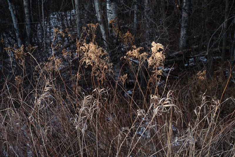 Winter trailside vegetation, Duluth, MN. #sidelight #dryplants #woods #pentaxk1 #wintercolor