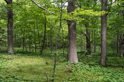 Some large oak and maple trees open up the understory along Peace Ridge.