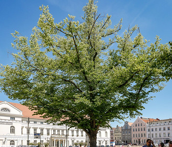 This tree seems to be the principle vegetation in the central square of Wismar