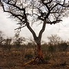 The tree died from ring-barking by the Elephants
