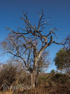 Dead trees were common