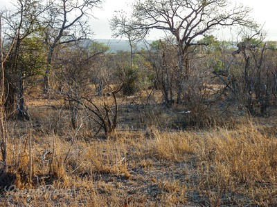 Dry grass and thorny trees
