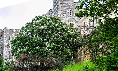 Horse Chestnut Tree at Windsor Castle
