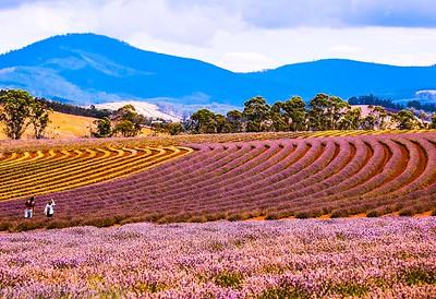 Lavender Fields East Tamor , Tasmania