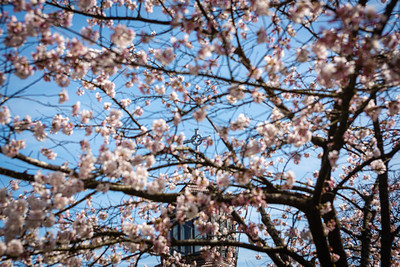 Cherry blossoms and the spire of the Chapel of Christ the Teacher on the University of Portland Campus.