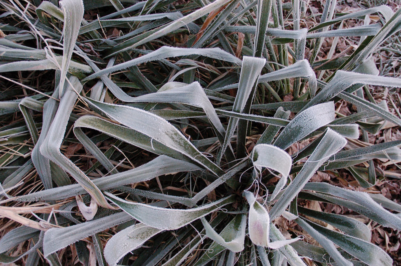 A very heavy frost made dormant plants look like artwork.