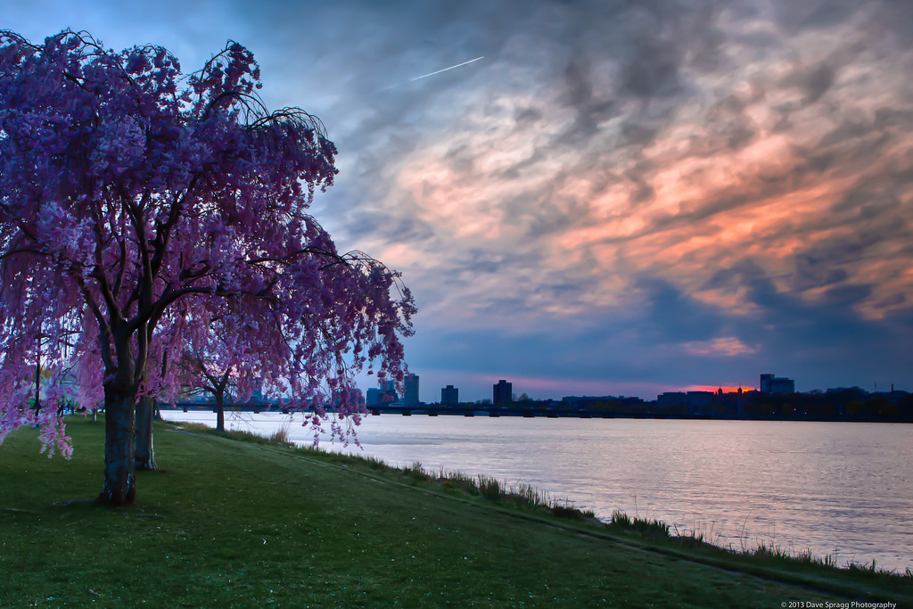 Cherry blossoms in the sunset on the Esplanade