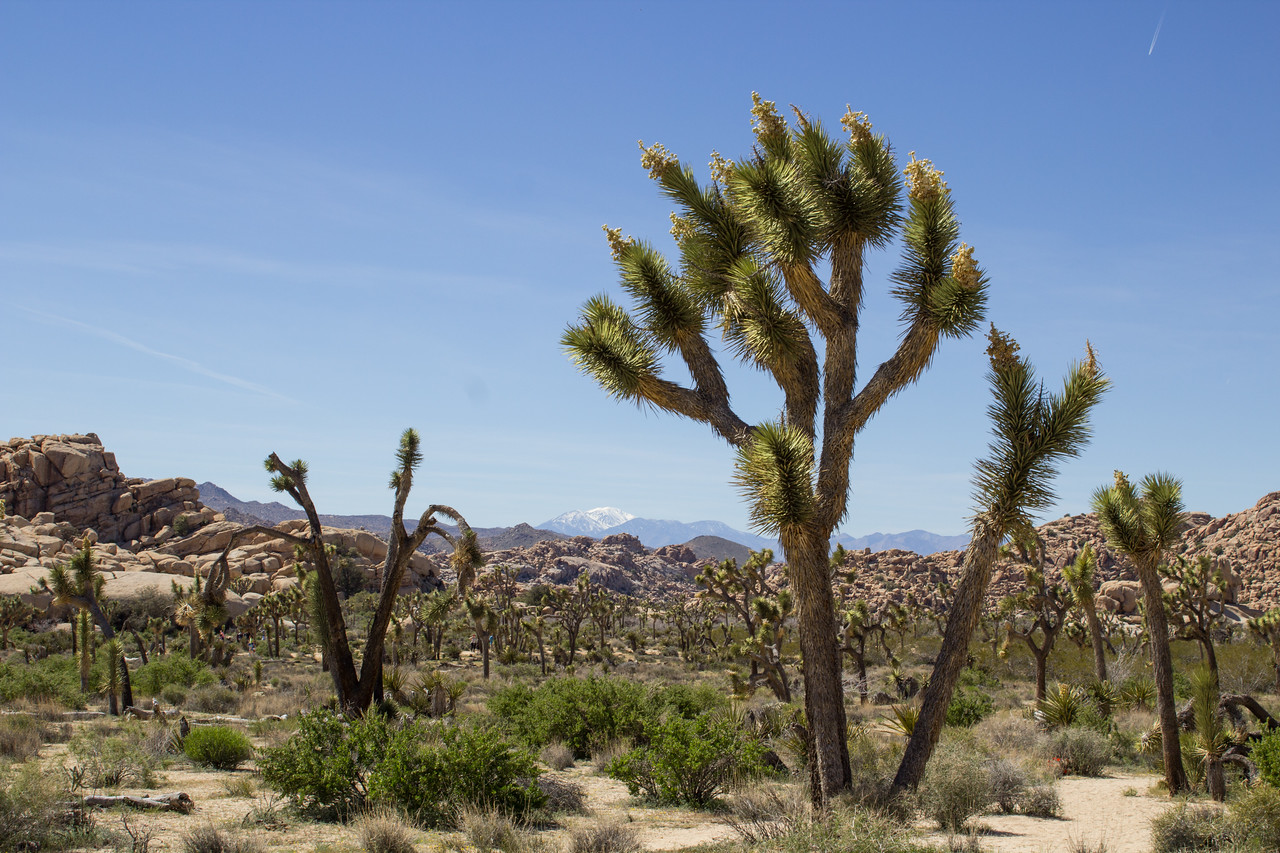 Joshua trees and San Jacinto Mountain from the Barker Dam Trail.