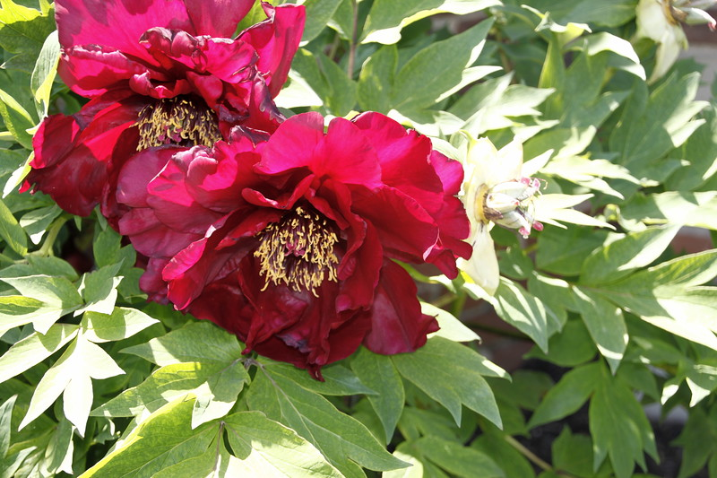 Red Flower, Old Westbury Gardens (2014)