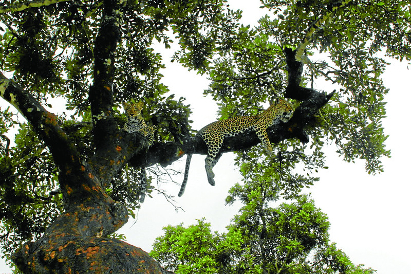 Leopards lying on tree limb (c) 2011