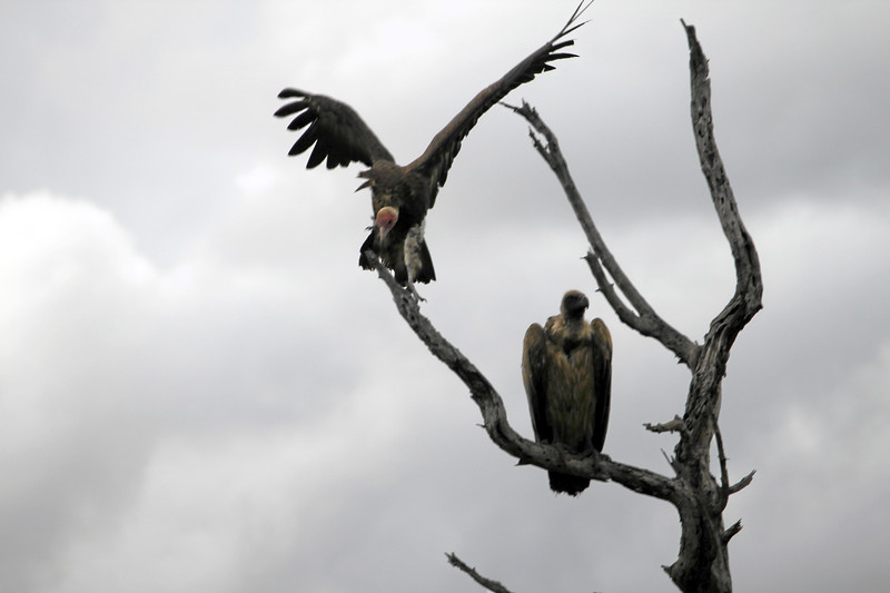 Vultures in tree, Mala Mala, South Africa (c)2011
