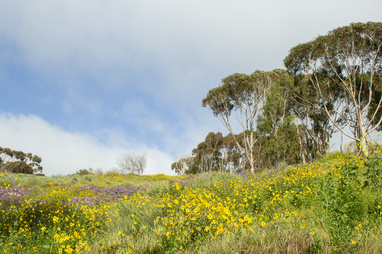 California bush sunflowers and eucalyptus trees along Expedition Way.