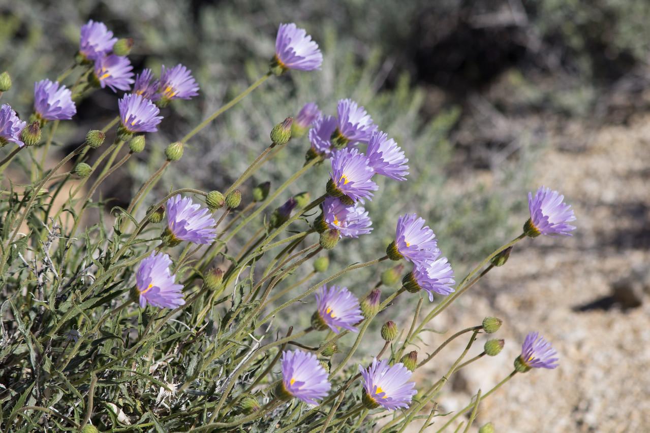 Mojave aster near Cottonwood Spring.