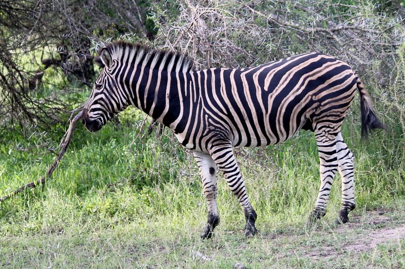Zebra, Mala Mala, South Africa, (c) 2011