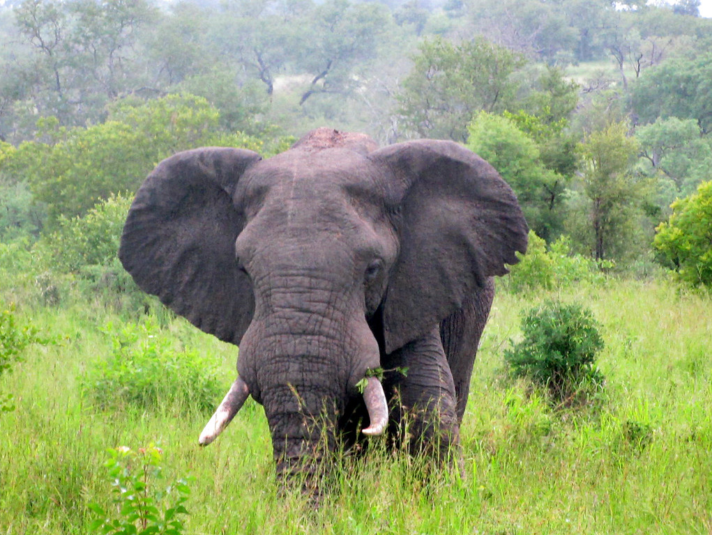 Elephant Charging Mala Mala South Africa (c) 2011