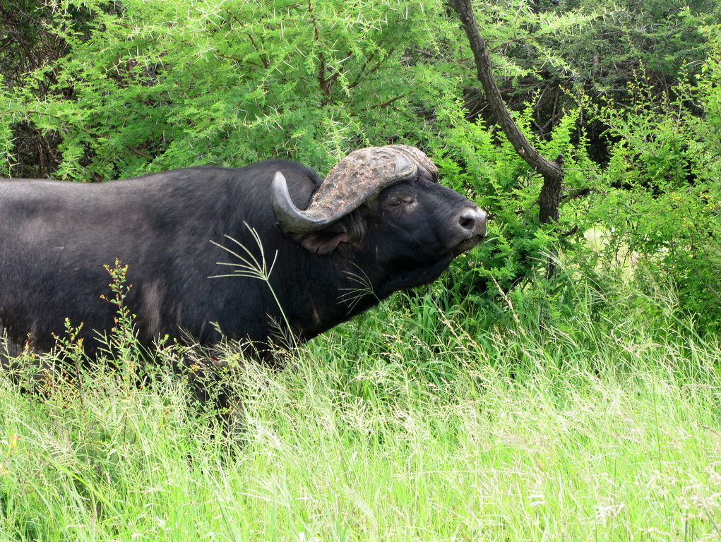 Cape Buffalo, Mala Mala (c) 2011