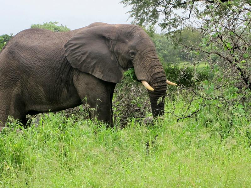Elephant, Mala Mala (c) 2011