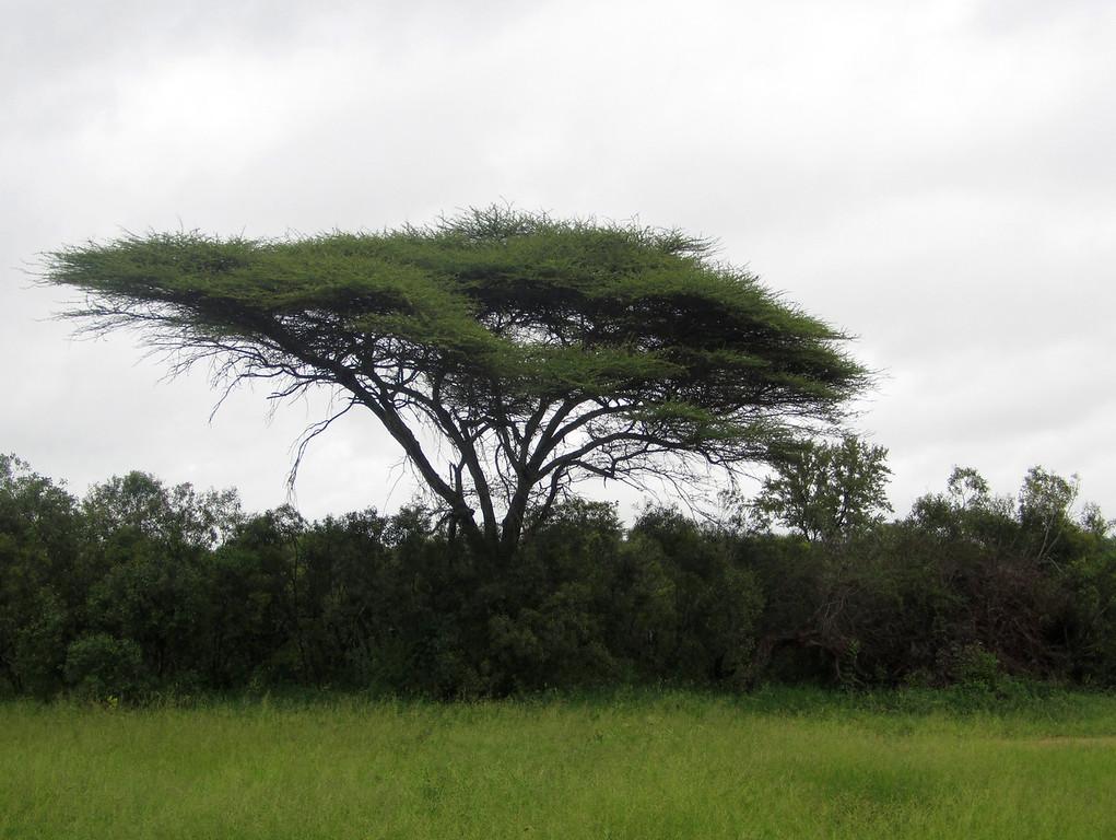 Acacia tree, Mala Mala (c) 2011