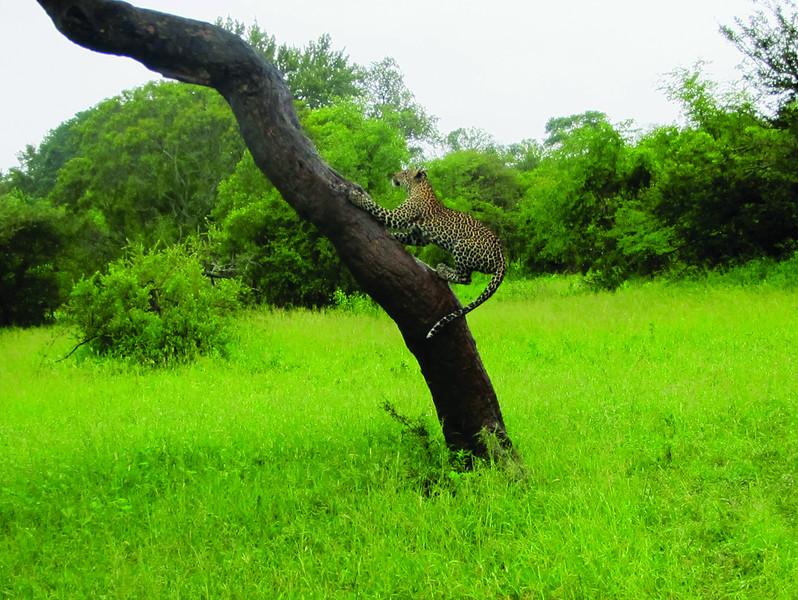 Leopard in Mala Mala (c) 2011