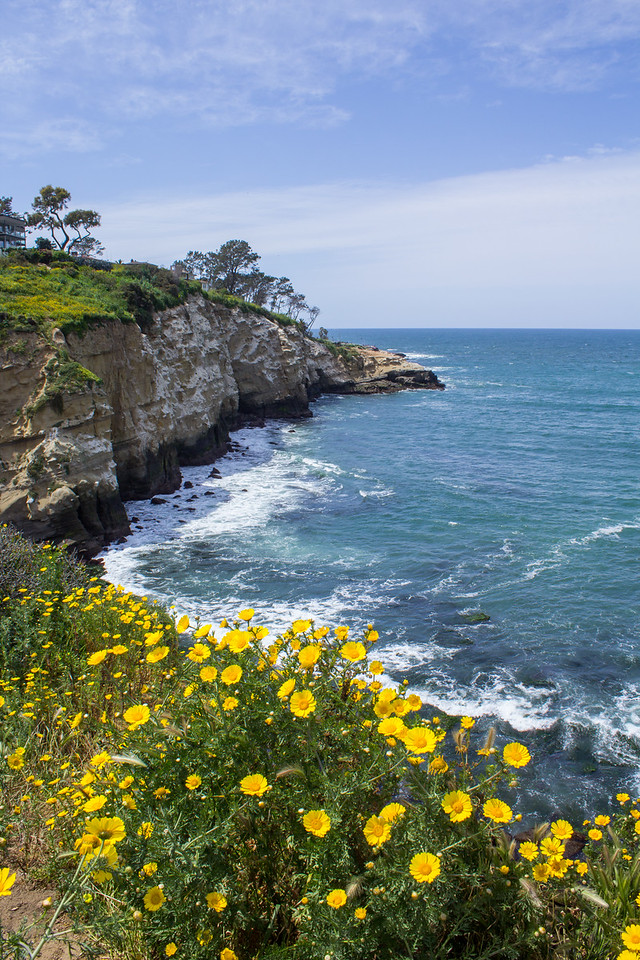 Annual crown daisies along La Jolla Coast Walk Trail.