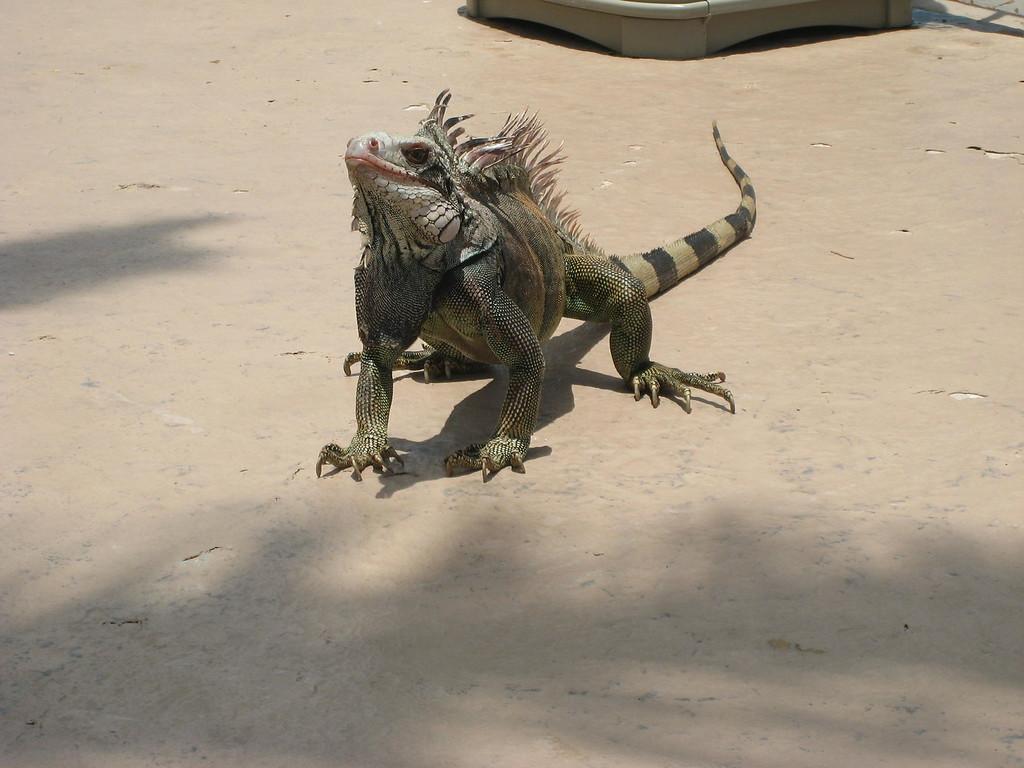 Iguana, St. Thomas (c) 2012