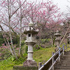 Sakura trees bloom at Nago Castle Site Park.