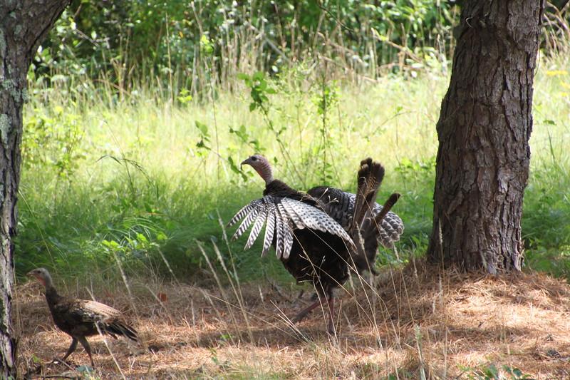 Turkey and chicks, East Hampton (c) 2014