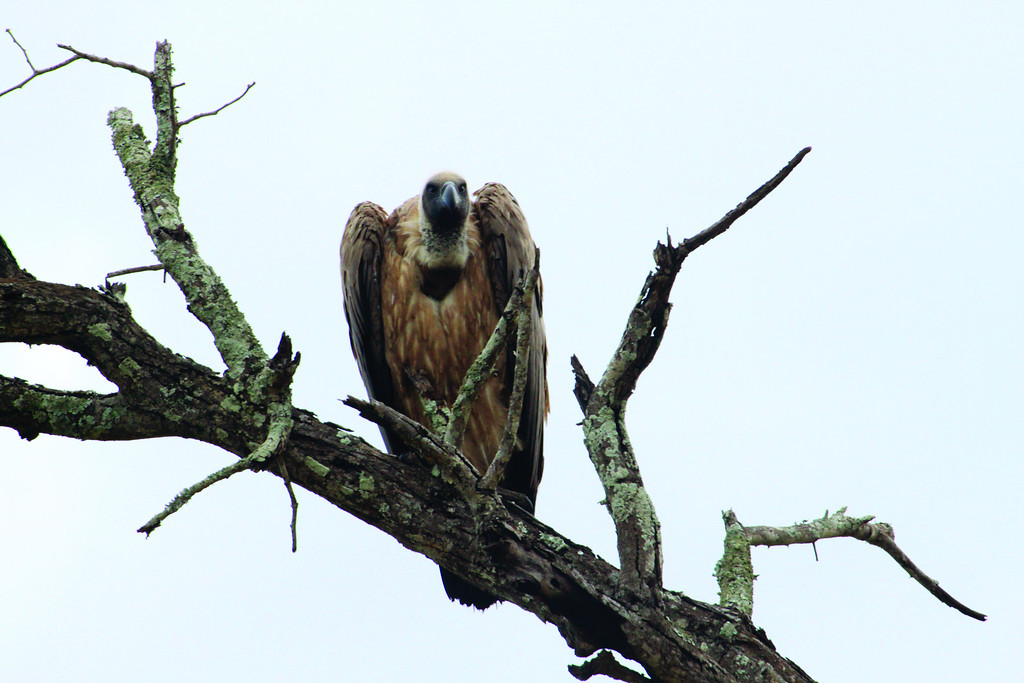 Vulture in tree, Mala Mala, South Africa (c)2011
