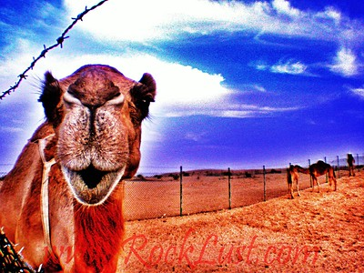 Dubai - camel greetings