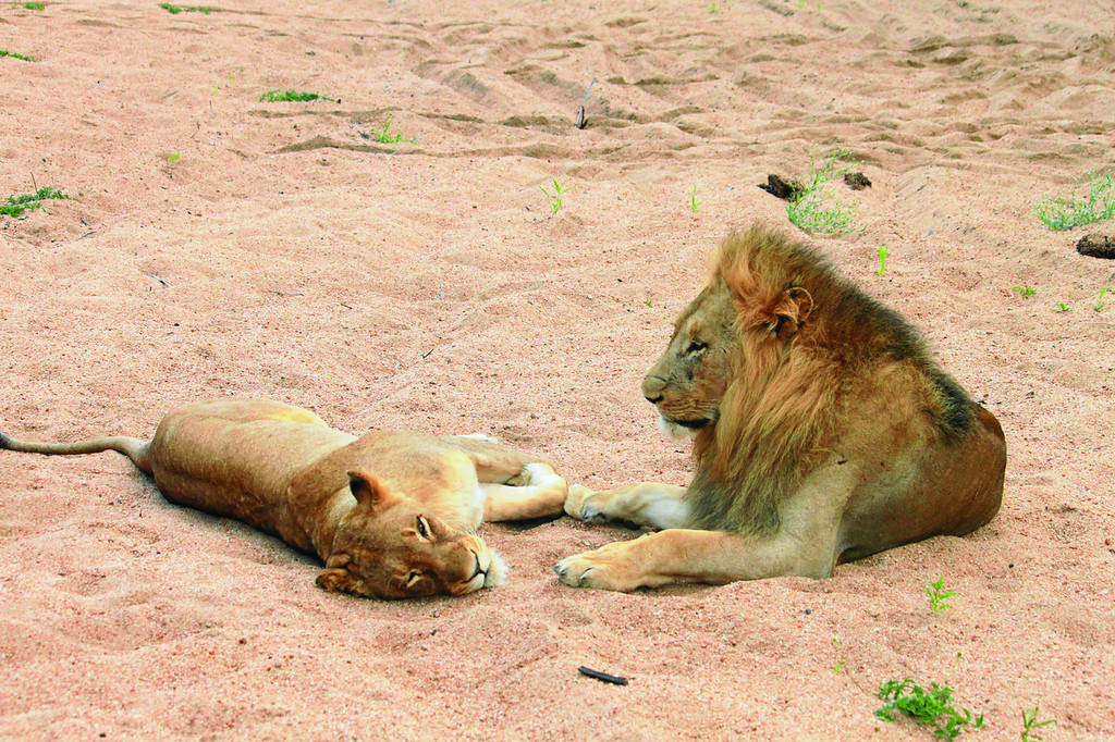 Male and female lions resting (c) 2011
