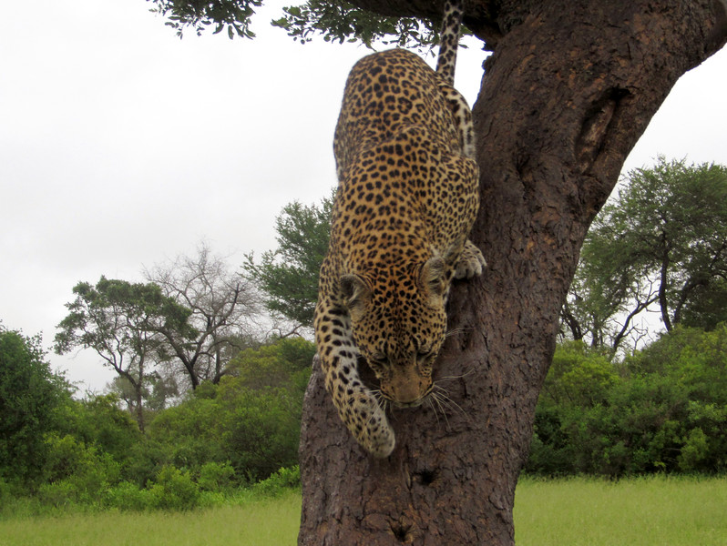 Leopard climbing down tree (c) 2011)