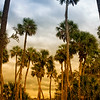 Sabal Palmetto Palms at Mullet Lake Park, Geneva, FL