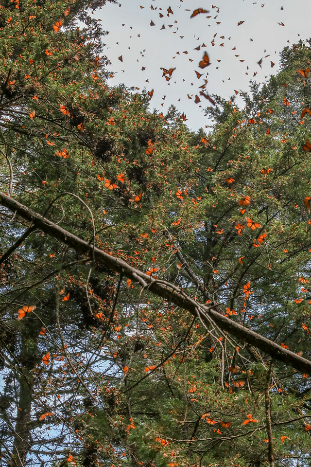 Monarch butterflies take flight in the sun at Cerro Pelón Monarch Butterfly Sanctuary.