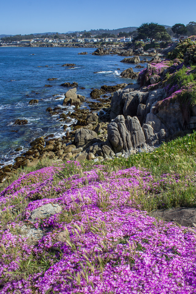 Wildflowers near Lover's Point.